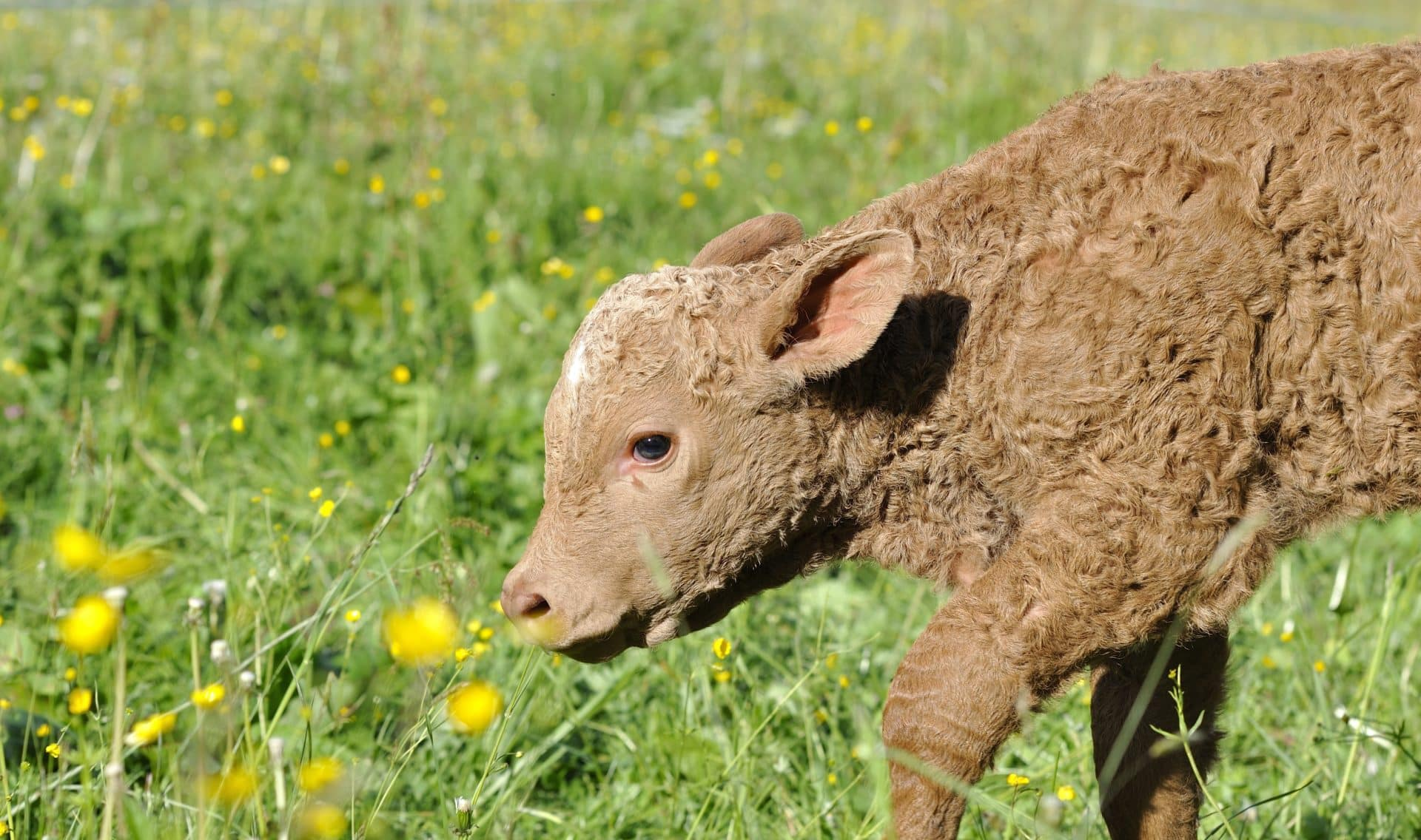 No more antibiotics for healthy animals? calf cows livestock health amr antimicrobial resistance